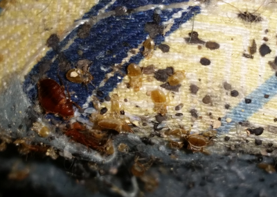 Bed Bugs CRS