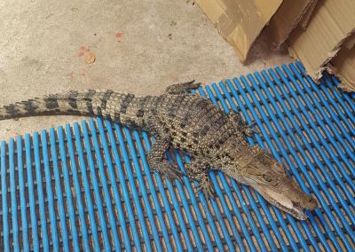 Crocodile CRS