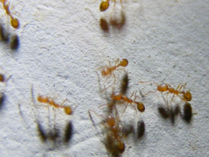 pest control for green ants