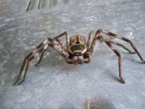 close up of a huntsman spider