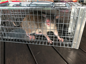 white tail rat in a cage