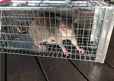 White Tail Rat CRS