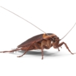 cockroach pest control cairns