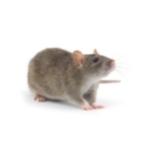 Invasive Rodent Treatment