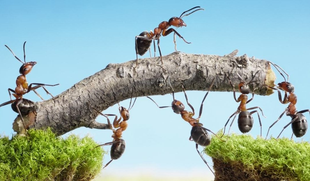 Ants – Are They Really Pests?
