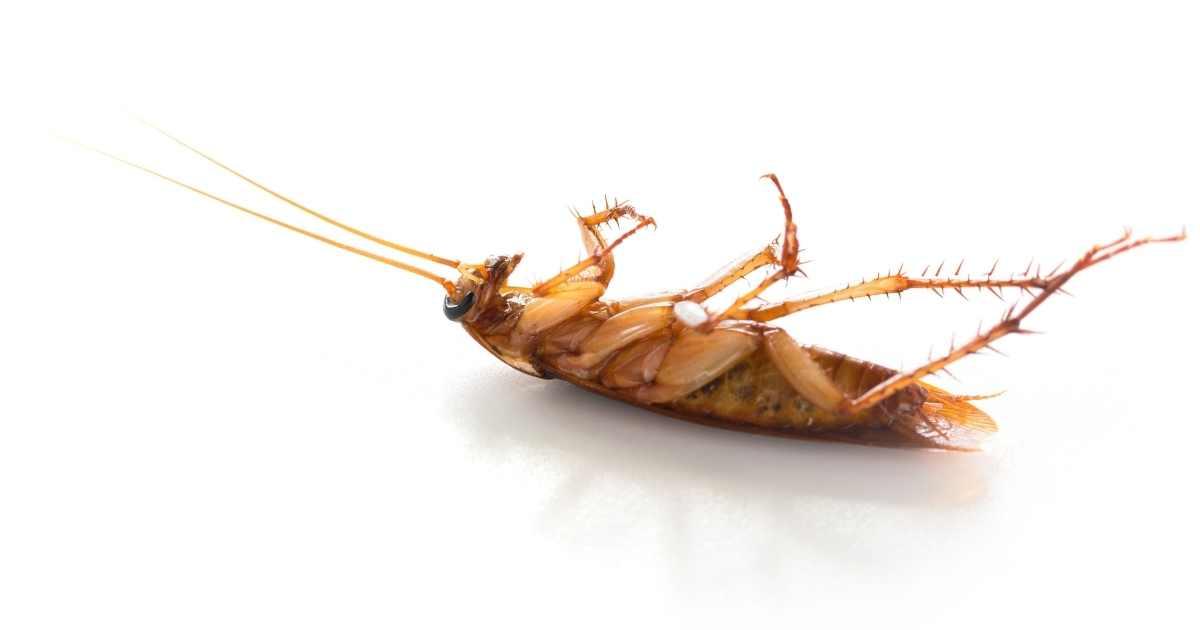 eco pest control dead cockroach