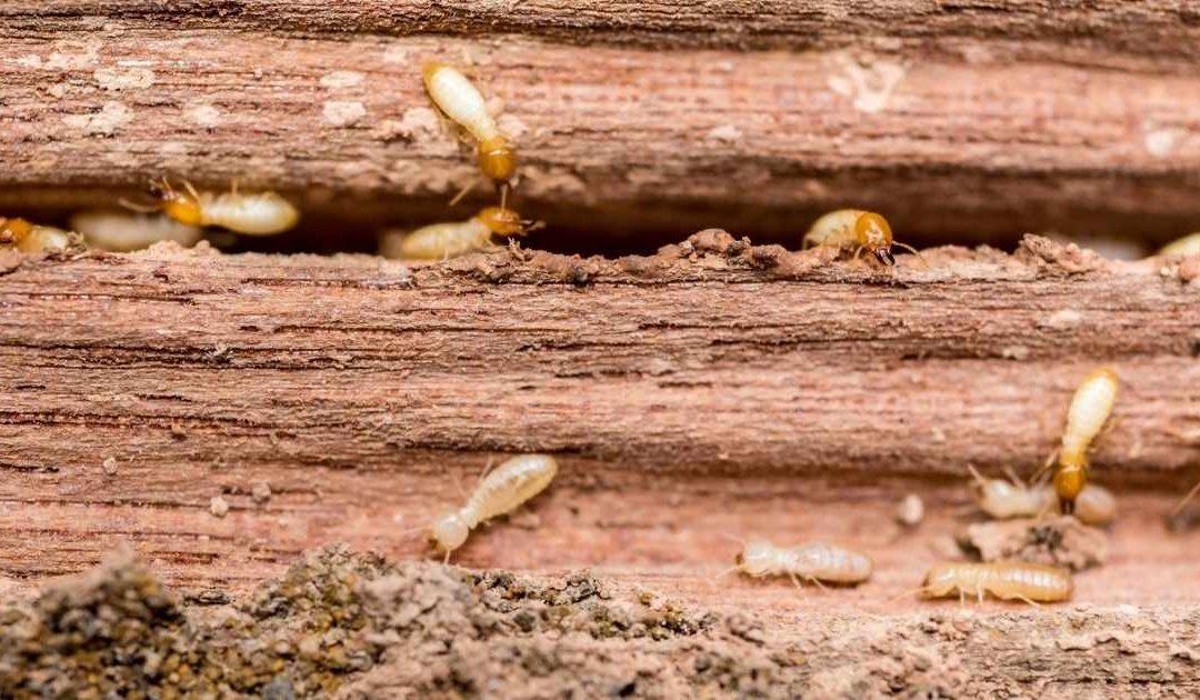 Do Termites Eat Hardwood?