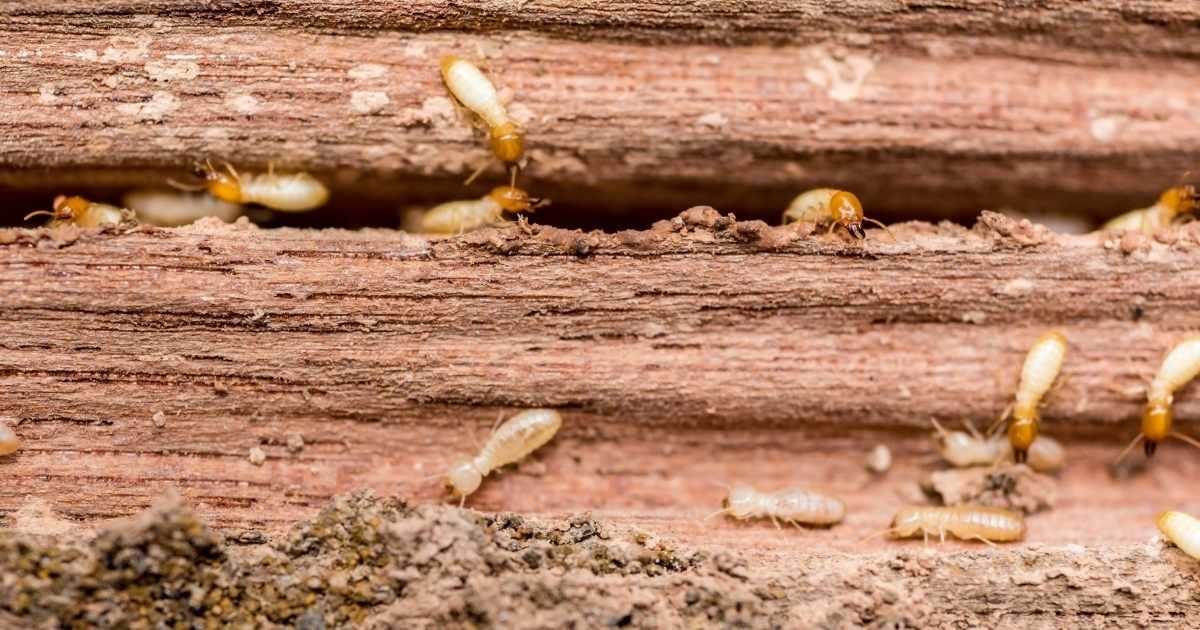 termite pest control in Cairns