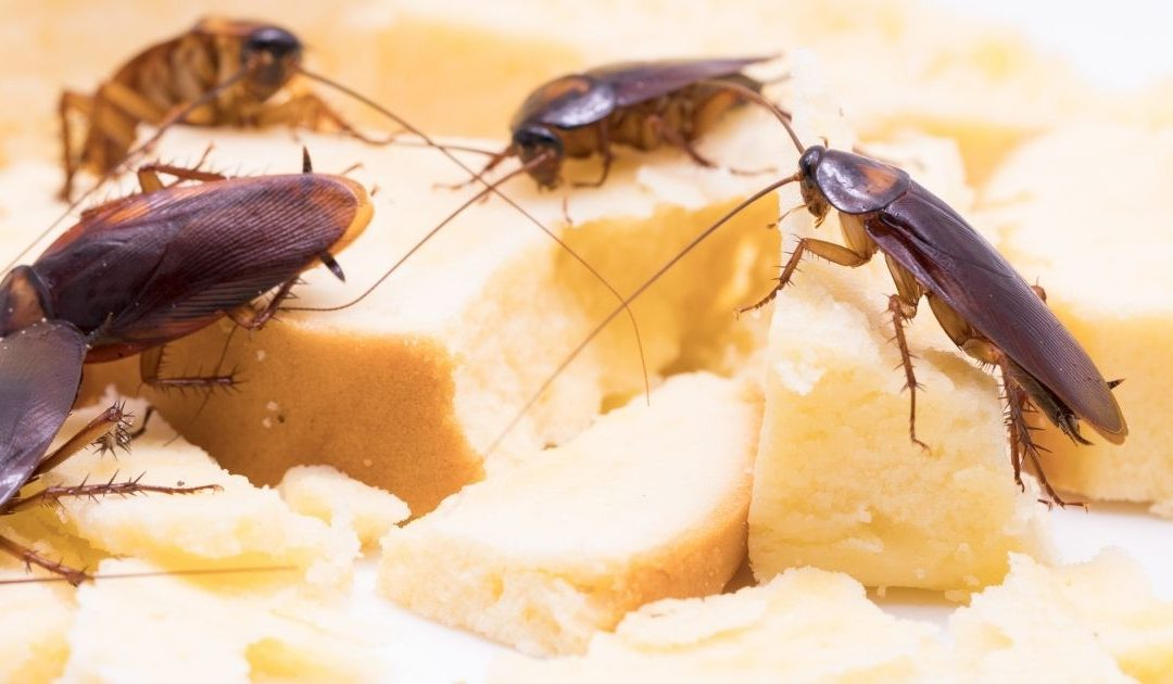 Cockroach Species in Australia
